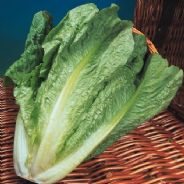 Lettuce Lobjolts - 10 grams - Bulk Discounts available